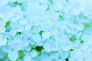 アジサイの花の写真素材 [FYI01648055]