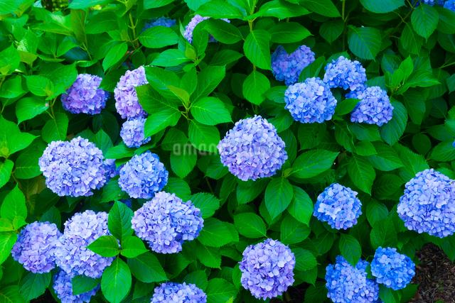 アジサイの花の写真素材 [FYI01648088]