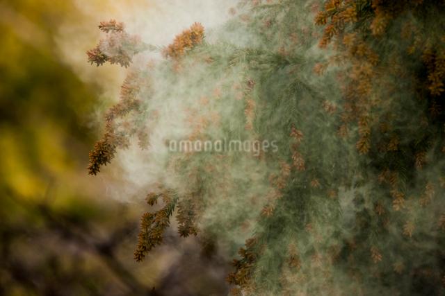 杉花粉の写真素材 [FYI01648126]