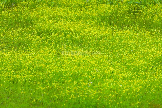 キンポウゲ咲く草原の写真素材 [FYI01648227]