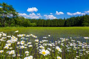 初夏の水田の写真素材 [FYI01648229]