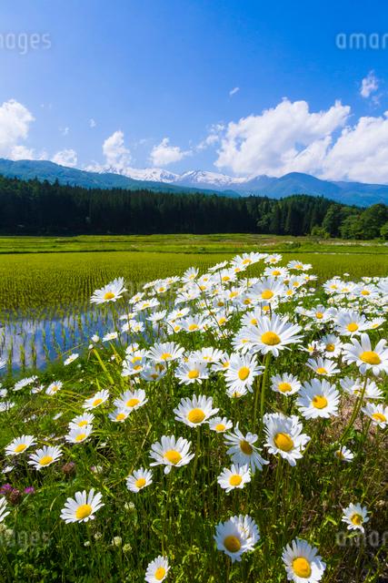 初夏の水田の写真素材 [FYI01648275]