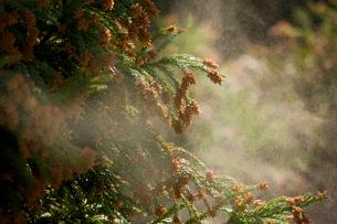 杉花粉の写真素材 [FYI01648543]