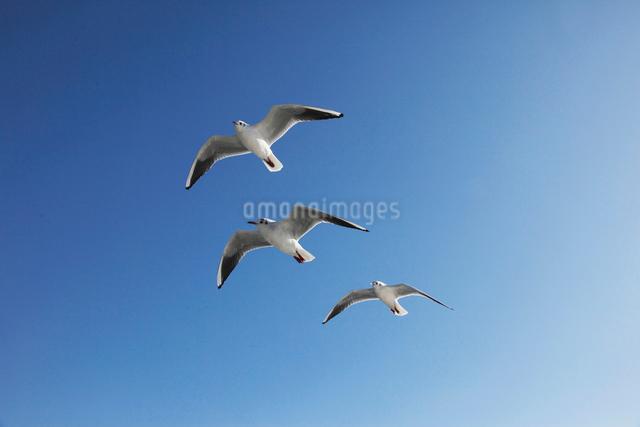 3羽のカモメの写真素材 [FYI01648636]