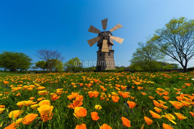 風車村のハナビシソウの写真素材 [FYI01648658]