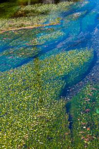 醒ヶ井の梅花藻の写真素材 [FYI01648699]