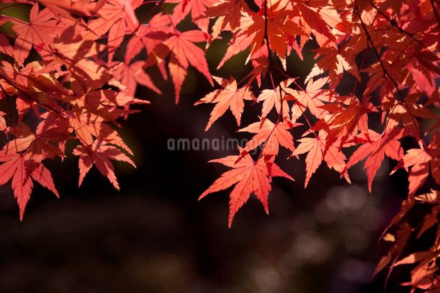 赤いカエデの写真素材 [FYI01648715]