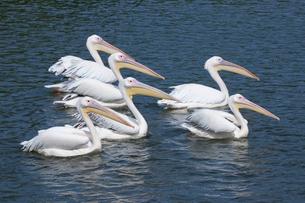 集団で泳ぐペリカンの写真素材 [FYI01648834]