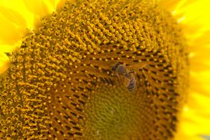 クローズアップのひまわりとミツバチの写真素材 [FYI01648838]