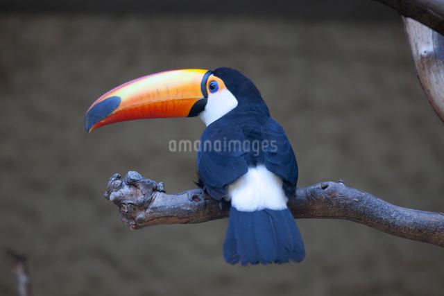 木に止まるオニオオハシの写真素材 [FYI01648921]