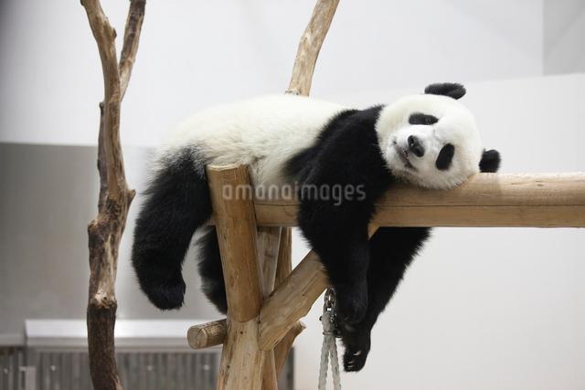 休むパンダの写真素材 [FYI01648943]