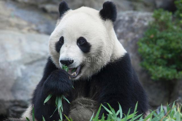 食事をするパンダの写真素材 [FYI01648956]