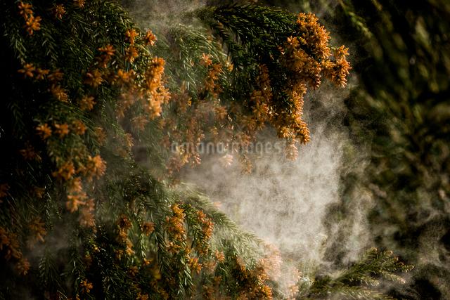 杉花粉の写真素材 [FYI01649035]