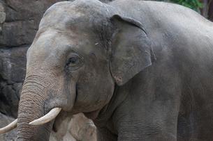 象の横顔の写真素材 [FYI01649111]