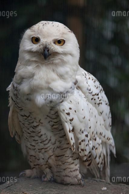 白フクロウの写真素材 [FYI01649147]