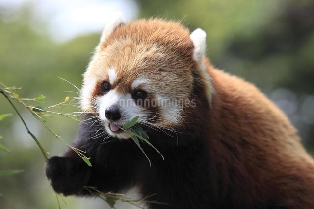 食事中のレッサーパンダの写真素材 [FYI01649174]