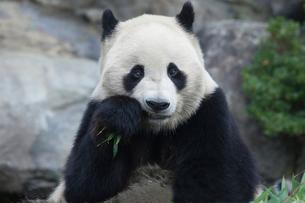 食事をするパンダの写真素材 [FYI01649249]