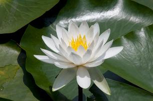 白い睡蓮の花の写真素材 [FYI01649291]