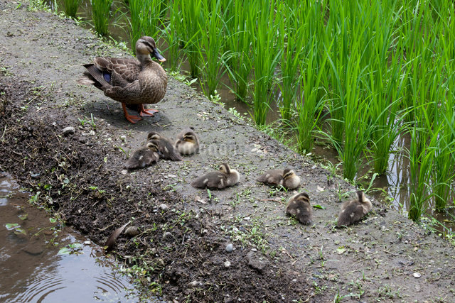 土手で休む鴨の親子の写真素材 [FYI01649344]