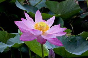 一輪の蓮の花の写真素材 [FYI01649346]