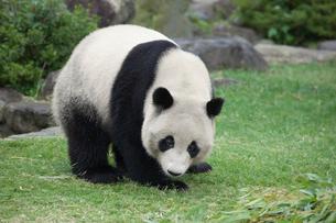 パンダの写真素材 [FYI01649411]
