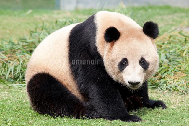 ジャイアントパンダの写真素材 [FYI01649434]
