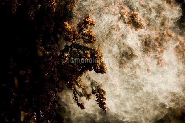 杉花粉の写真素材 [FYI01649508]