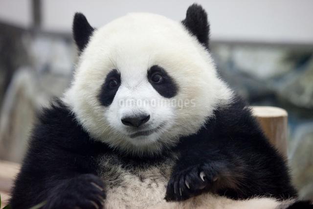 パンダの写真素材 [FYI01649550]