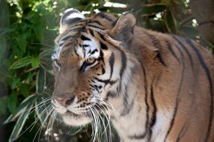 虎の横顔の写真素材 [FYI01649554]