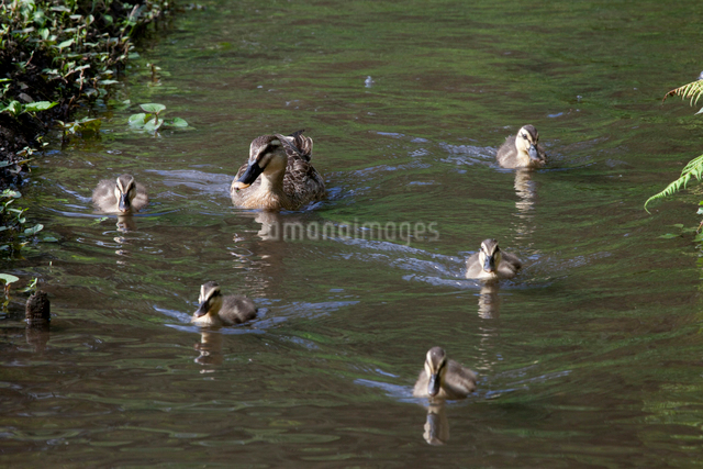 鴨の親子の写真素材 [FYI01649573]
