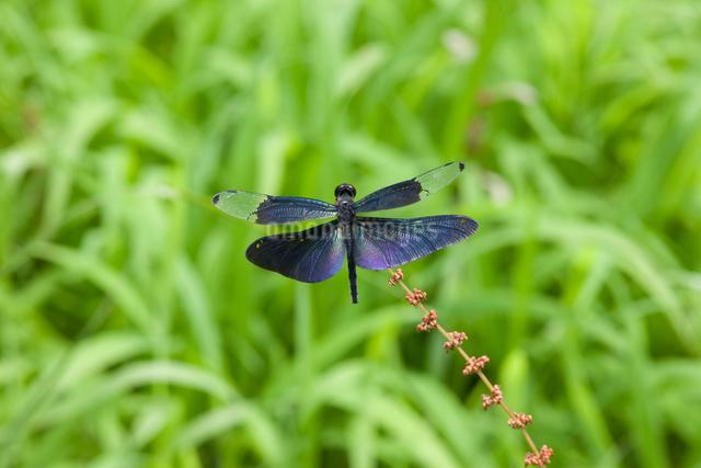 蝶トンボの写真素材 [FYI01649915]