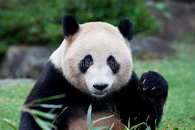 ジャイアントパンダの写真素材 [FYI01650079]
