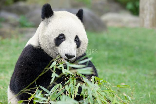 食事をするパンダの写真素材 [FYI01650109]