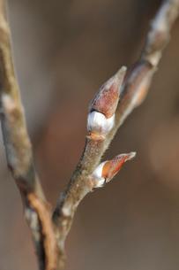 ネコヤナギの冬芽の写真素材 [FYI01650979]