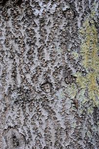 キリの写真素材 [FYI01651101]