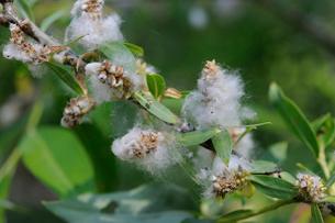 ヤナギの種子の写真素材 [FYI01651236]