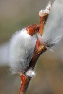 ネコヤナギの写真素材 [FYI01651612]