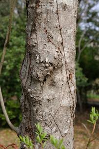 カワヤナギの写真素材 [FYI01651720]