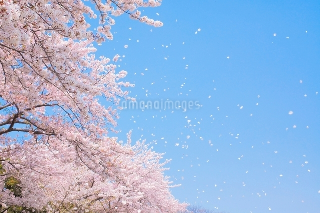 青空と桜吹雪の写真素材 [FYI01652070]