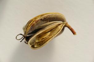 カツラの果実の写真素材 [FYI01652695]