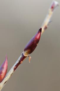 ネコヤナギの冬芽の写真素材 [FYI01652895]