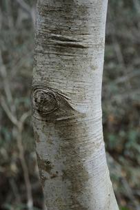 タカノツメの写真素材 [FYI01653337]