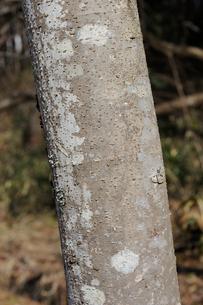 ヤマウルシの写真素材 [FYI01654758]