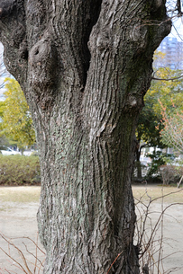 シナノキの写真素材 [FYI01655527]