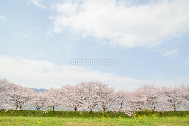 青空と桜並木の写真素材 [FYI01655966]