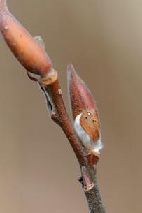 ネコヤナギの冬芽の写真素材 [FYI01656060]