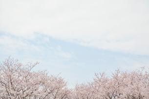 満開の桜の写真素材 [FYI01656122]
