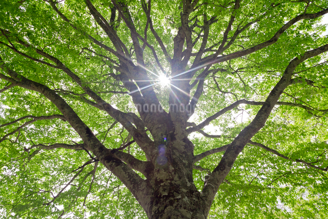 ブナの樹と木漏れ陽の写真素材 [FYI01656380]