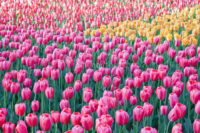 チューリップ花壇の写真素材 [FYI01656397]