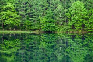 御射鹿池湖畔 新緑の林の写真素材 [FYI01656417]